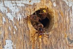 Hoornaarzweefvliegen