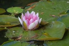 Waterlelie roze