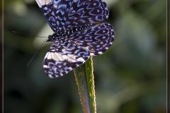 blauwevlinder